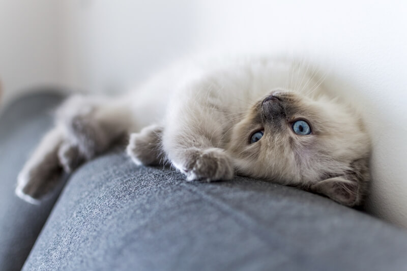 6+Fun+Facts+about+Ragdolls+_+Ragdoll+cat+resting+atop+a+sofa