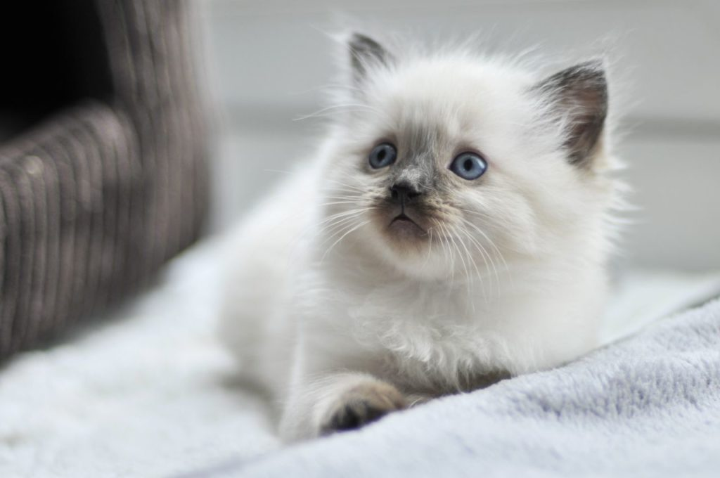 cute-and-fluffy-ragdoll-kittens-for-sale-5601757b89421